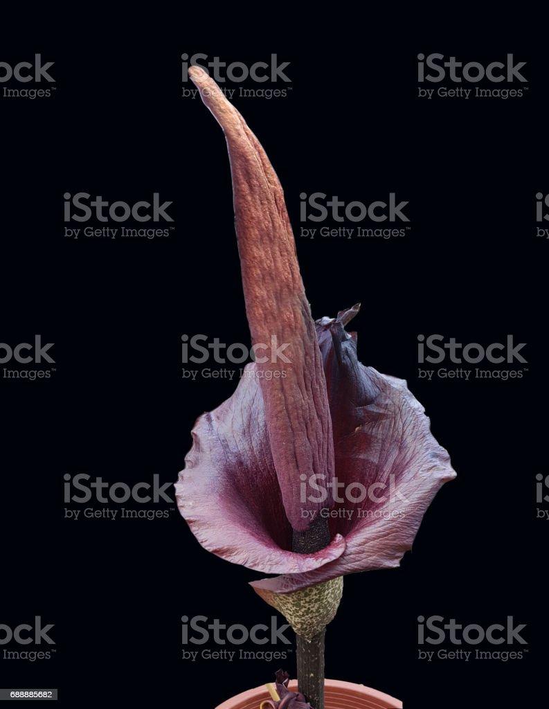 Amorphophallus konjac, rivieri - Photo