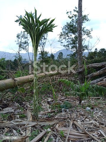 It is the Indonesian endemic plant that is now being sought out and cultivated