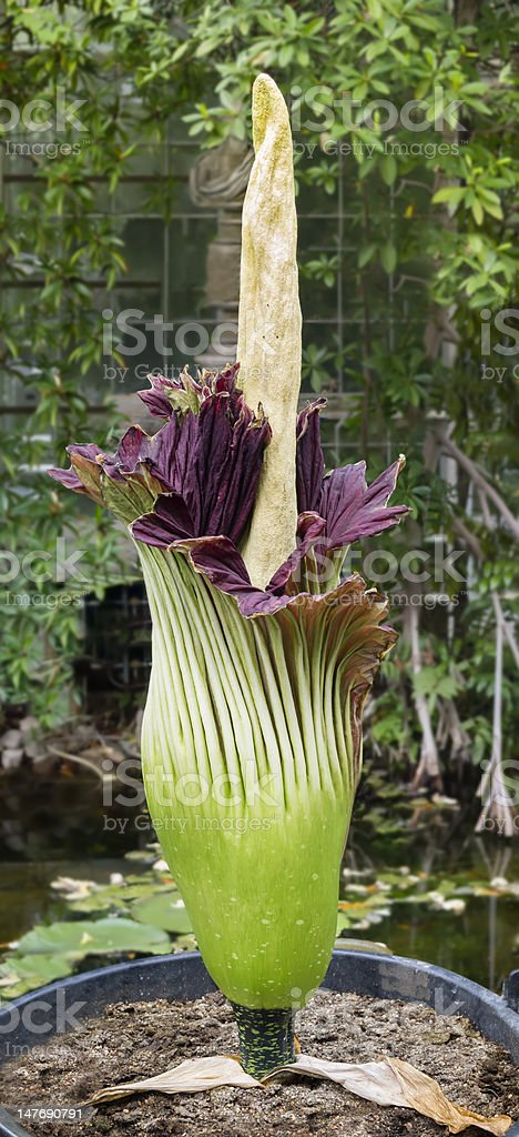 Amorphophallus titanum, arum titan, corpse fleur - Photo