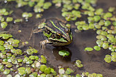 Amphibian in water with duckweed. Green frog in the pond. (Rana esculenta) Macro photo. looking at the camera