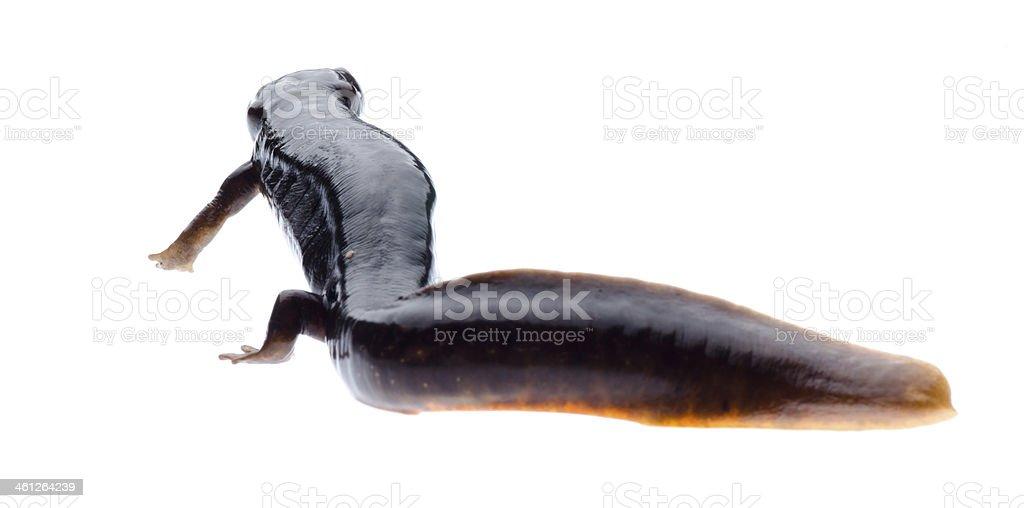 amphibian salamander newt stock photo