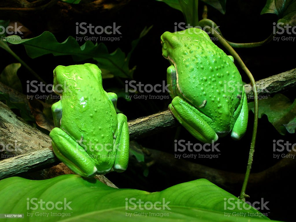 Amphibians -Two Waxy Monkey Tree Frogs Snub the Crowd royalty-free stock photo