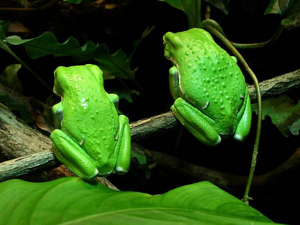 Amphibians -Two Waxy Monkey Tree Frogs Snub the Crowd stock photo