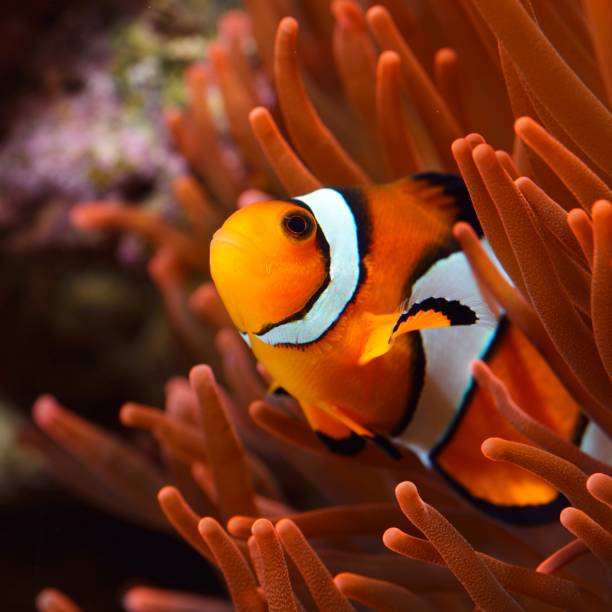 Amphiprion Ocellaris Clownfish In Marine Aquarium Amphiprion Ocellaris Clownfish In Marine Aquarium false clown fish stock pictures, royalty-free photos & images