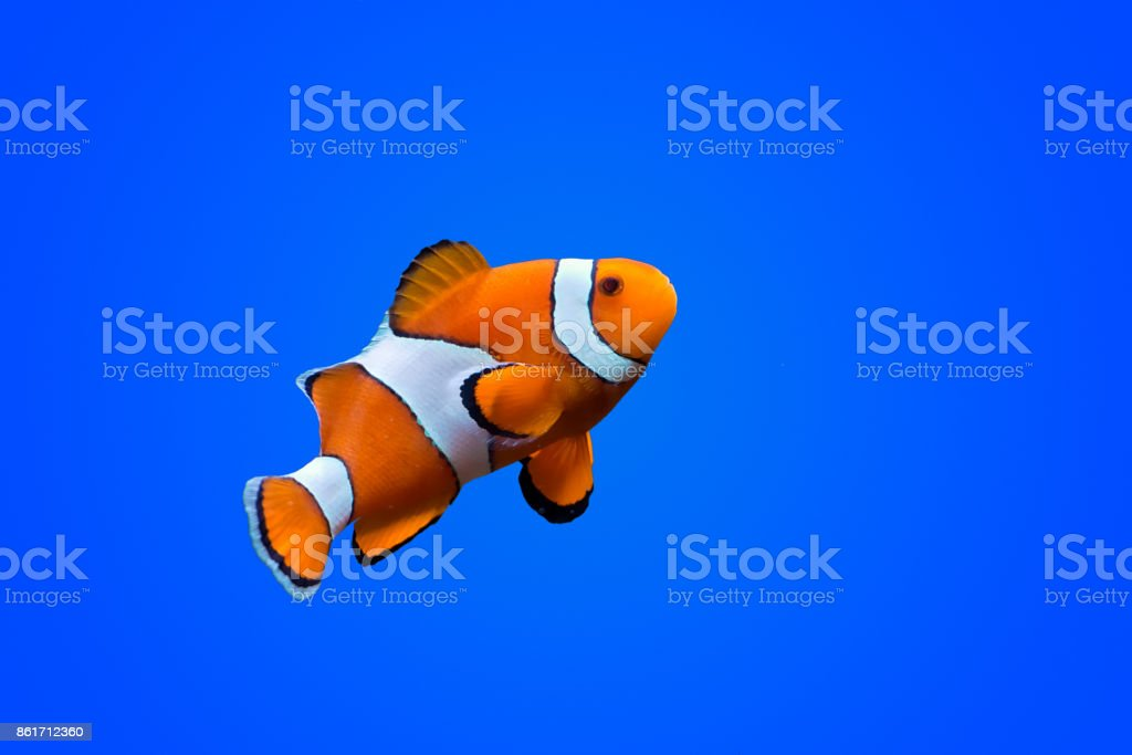 Amphiprioninae clown fish stock photo