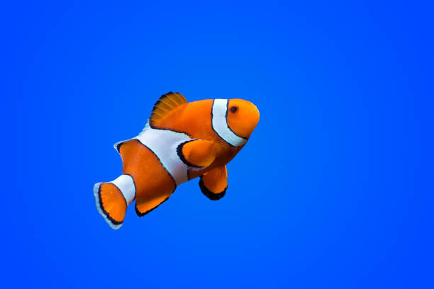 Amphiprioninae clown fish Amphiprioninae clown fish on deep blue sea color background anemonefish stock pictures, royalty-free photos & images