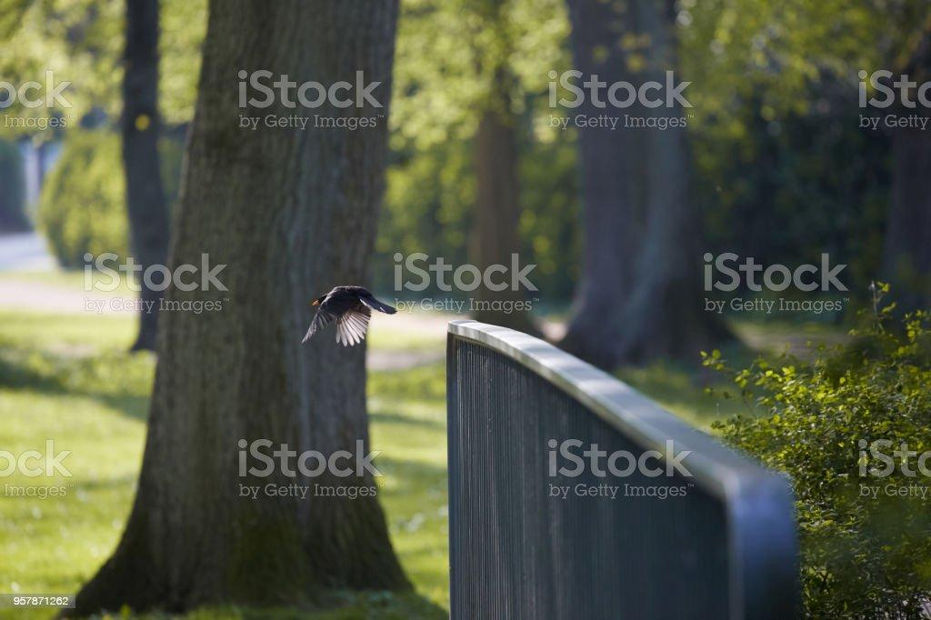 Amsel an einem warmen Frühlingstag stock photo