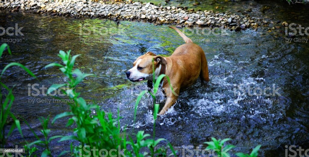 amstaff dog is refreshing on the creek water royalty-free stock photo