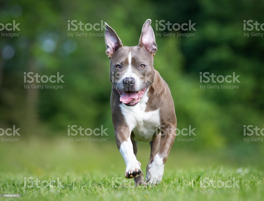 Amstaff dog outdoors in nature stock photo