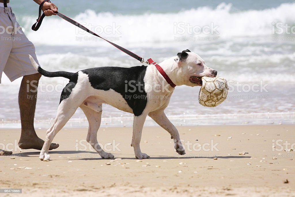 Amstaff on the beach royalty-free stock photo