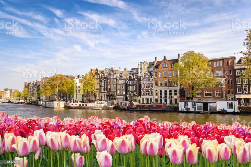 Amsterdam city skyline at canal waterfront with spring tulip flower, Amsterdam, Netherlands Amsterdam city skyline at canal waterfront with spring tulip flower, Amsterdam, Netherlands Agricultural Field Stock Photo