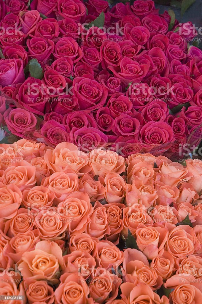 Amsterdam Roses royalty-free stock photo