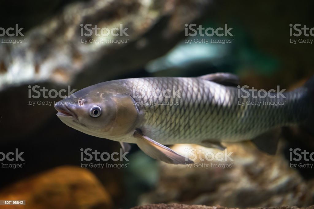 Amur fish in the big aquarium. Ctenopharyngodon idella stock photo