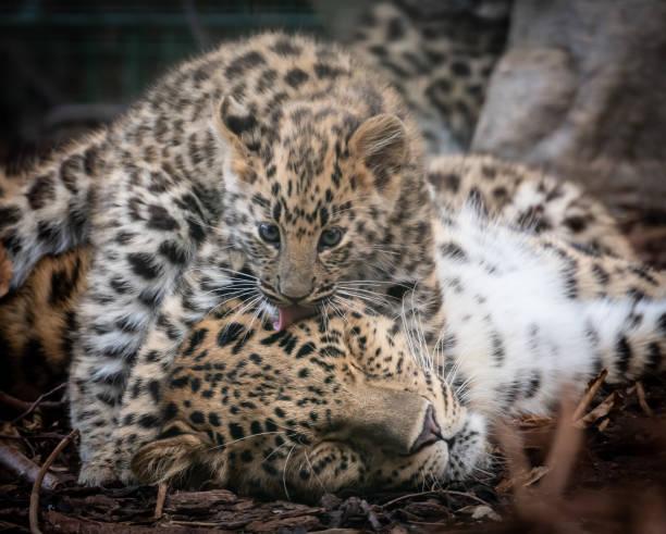 Leopard Cub - Zdjęcia i ilustracje - iStock
