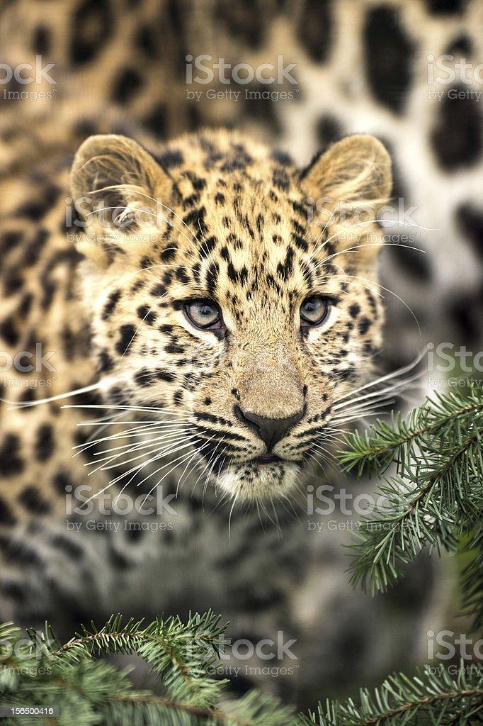 Amur Leopard Cub royalty-free stock photo