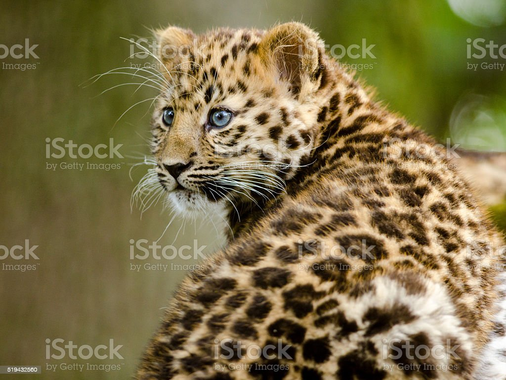 Amur Leopard Cub stock photo