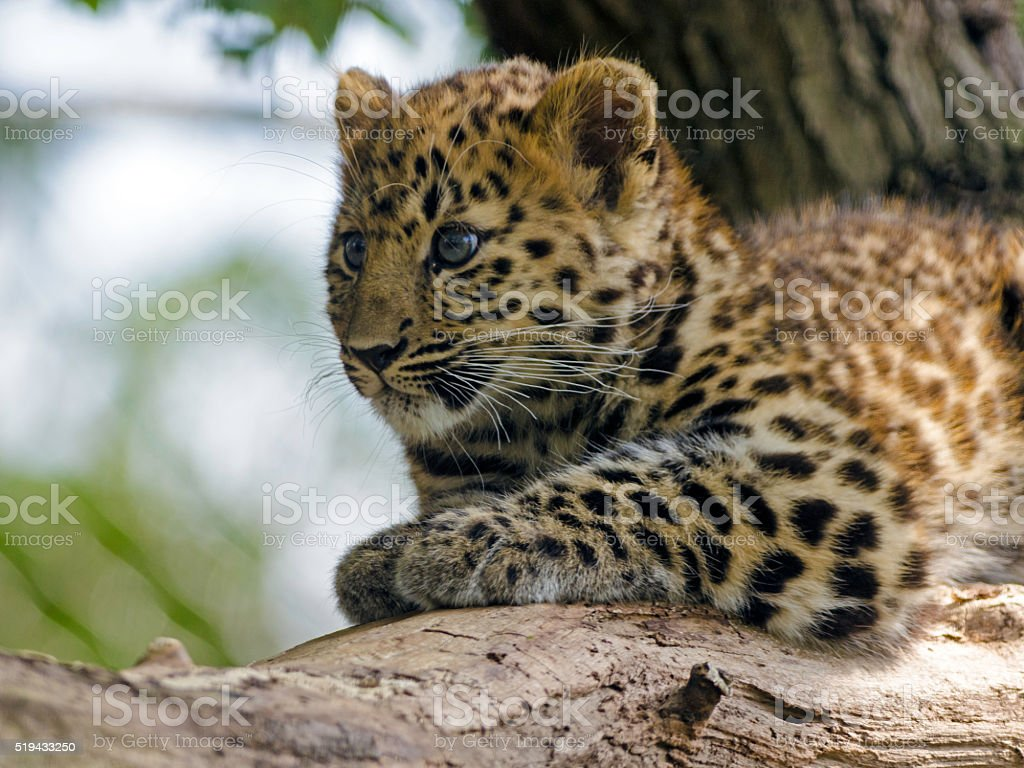 Amur Leopard Cub – Foto