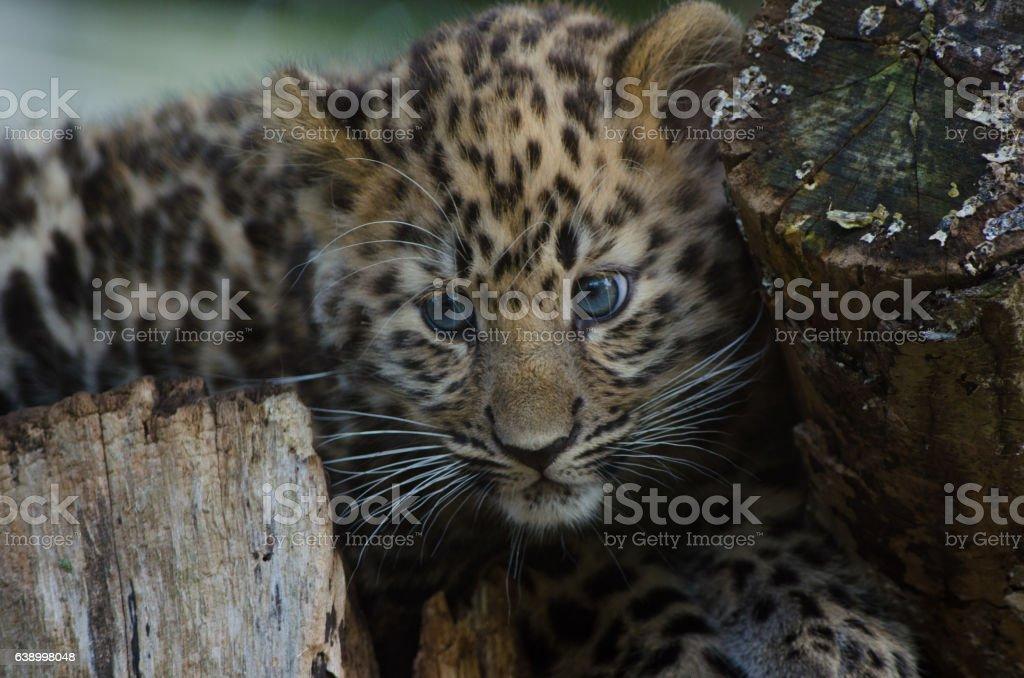 Amur Leopard Cub stock photo