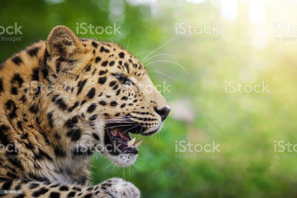 Amur-Leopard im Sonnenlicht – Foto
