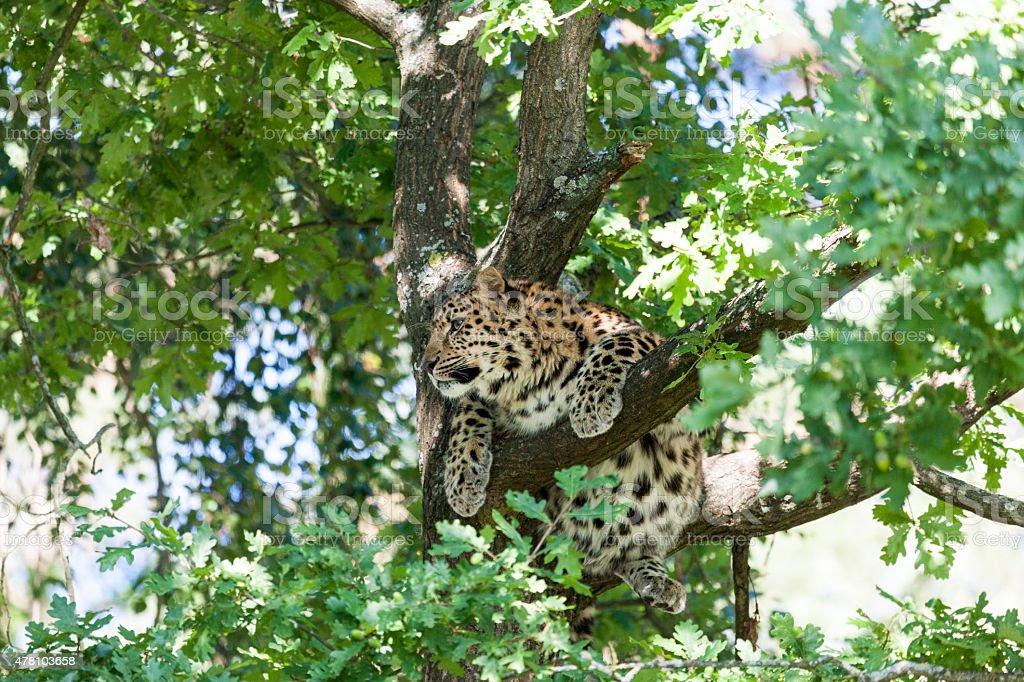 Amurleopard in tree – Foto