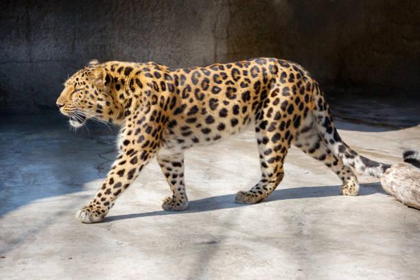 Amur Leopard. – Foto