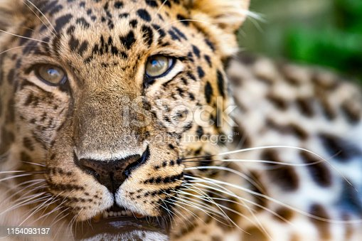 Amur Leopard looking forward on  a hot summer day. It is in an enclosure at the Cat Survival Trust Centre at Welwyn.  The trust does a huge amount to protect and rehome big cats from failing zoos or private collectors and is part of the world wide cat breeding programme.