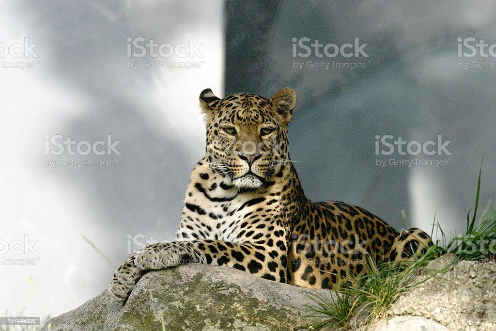 Amurleopard (Panthera pardus orientalis) – Foto