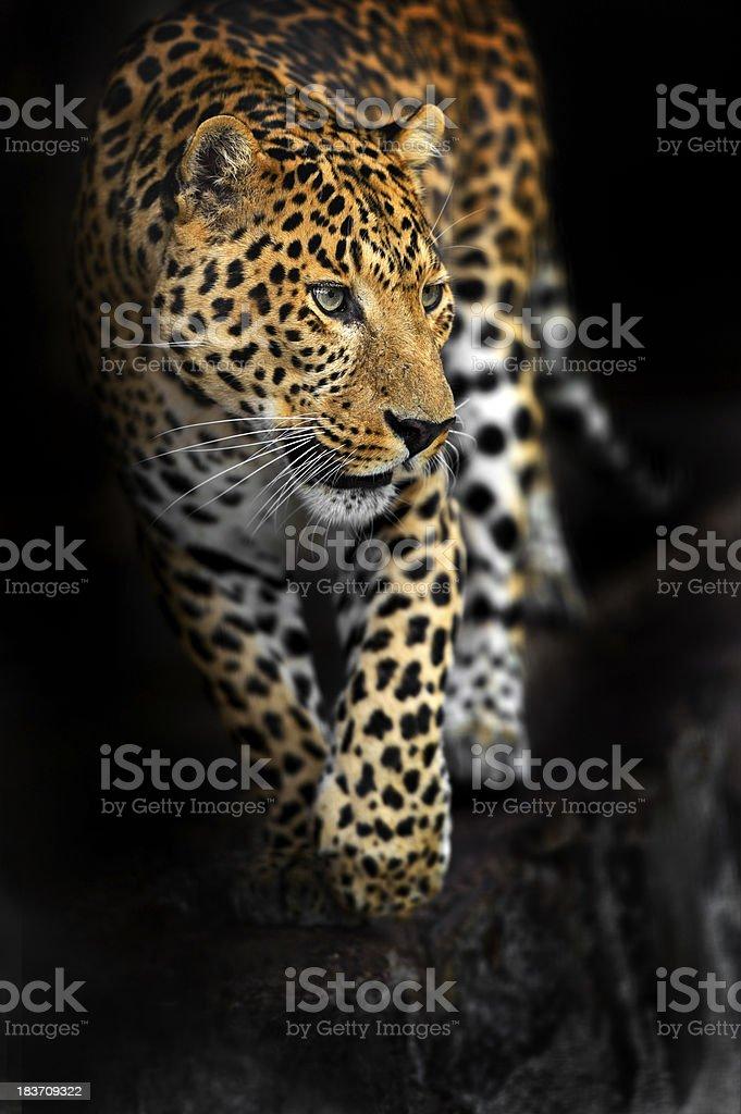 Amurleopard – Foto