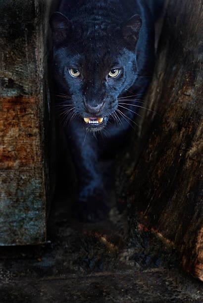 Amur Leopard圖像檔