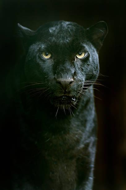 amur leopard - black leopard stock photos and pictures