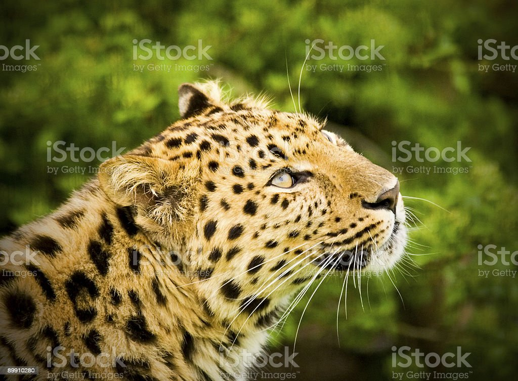 Amur Leopard royalty-free stock photo
