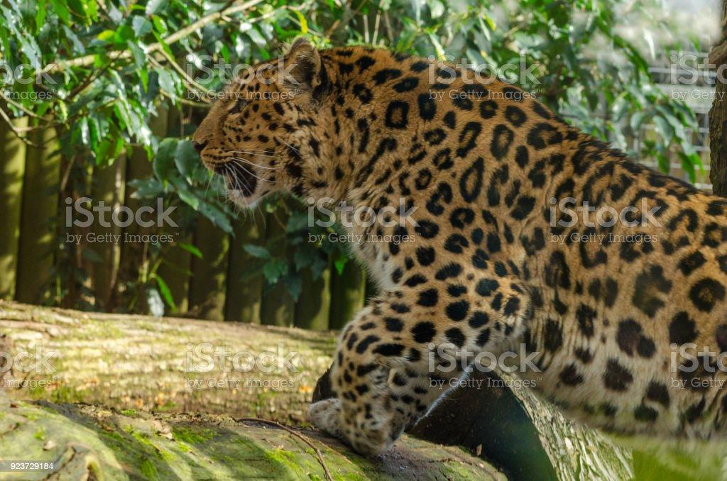 Amur Leopard royalty-free stock photo