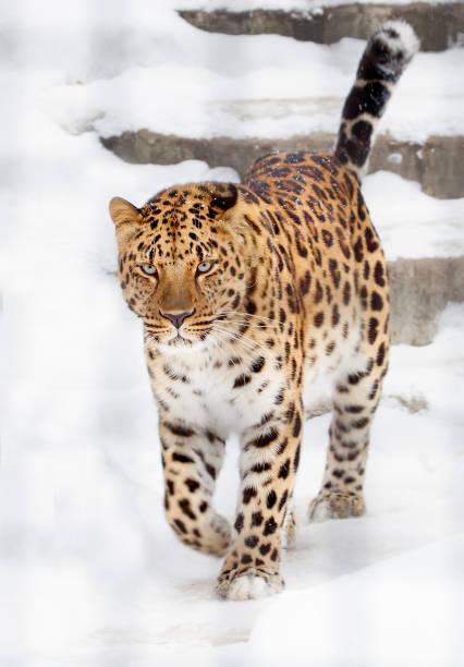 Amurleopard. – Foto