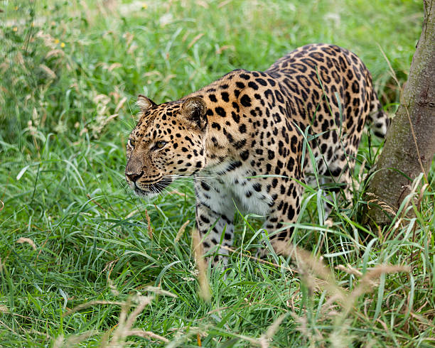 amur leopard prowling through long grass - amurleopard bildbanksfoton och bilder