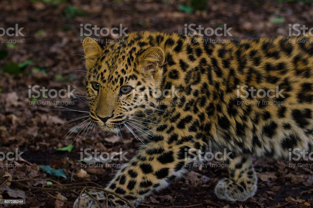 Amur Leopard stalks 2 stock photo