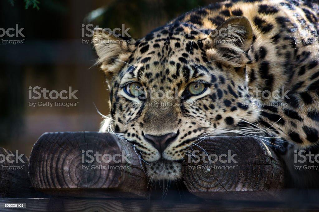 Amur-Leopard mit grünen Augen Blick auf etwas – Foto