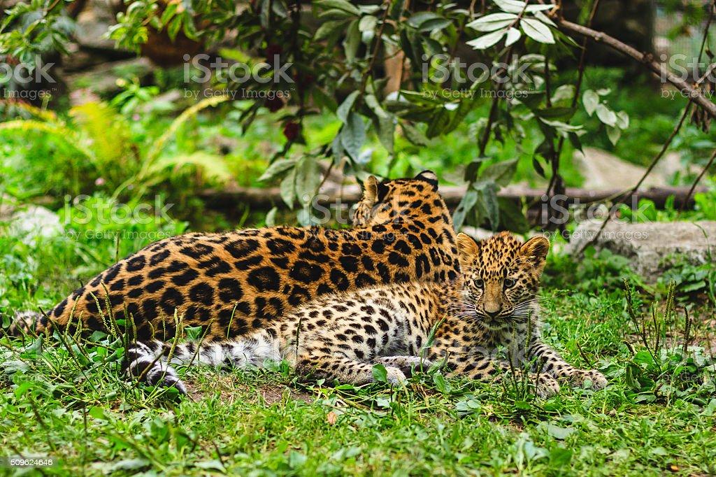 Amur Leoparden – Foto
