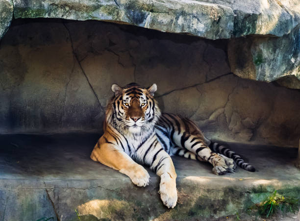 amur or siberian tiger - zoo stock pictures, royalty-free photos & images
