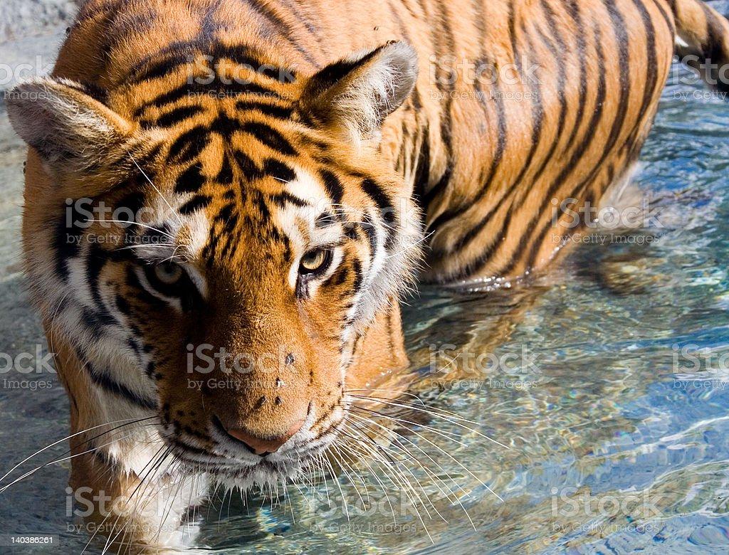 Amur Siberian Tiger Eye Stare in Water royalty-free stock photo