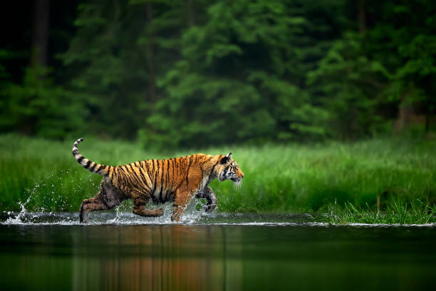 Amur tige in the river. Action wildlife scene with danger animal. Siberian tiger, Panthera tigris altaica stock photo