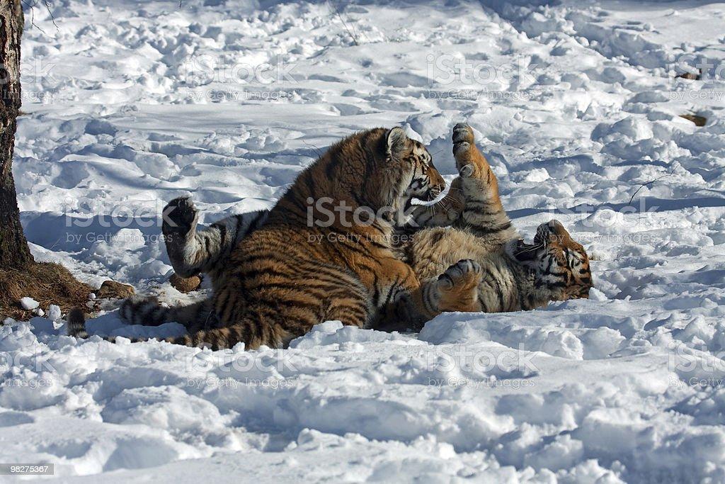 Amur Tiger cubs playing royalty-free stock photo