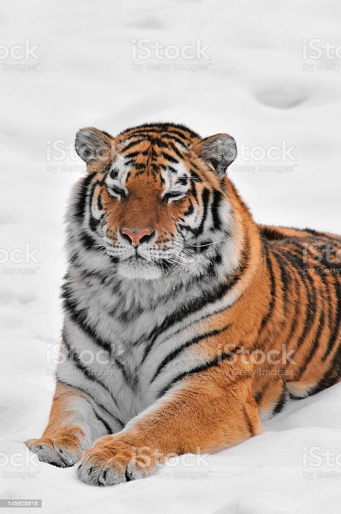 Amur Tiger (Panthera tigris altaica) Lies in Snow stock photo