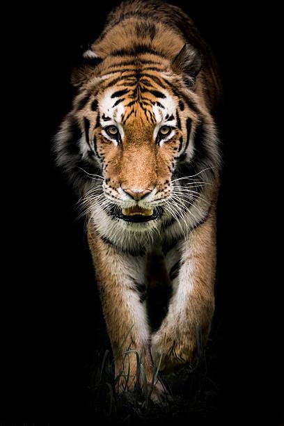Amur Tiger On the Prowl II stock photo