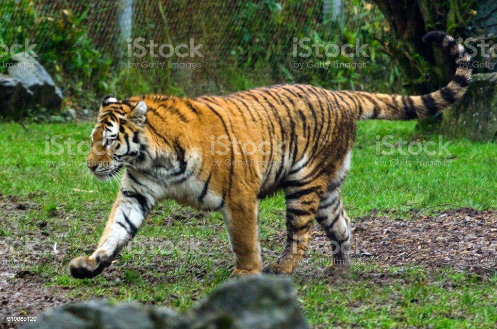 Amur Tiger royalty-free stock photo