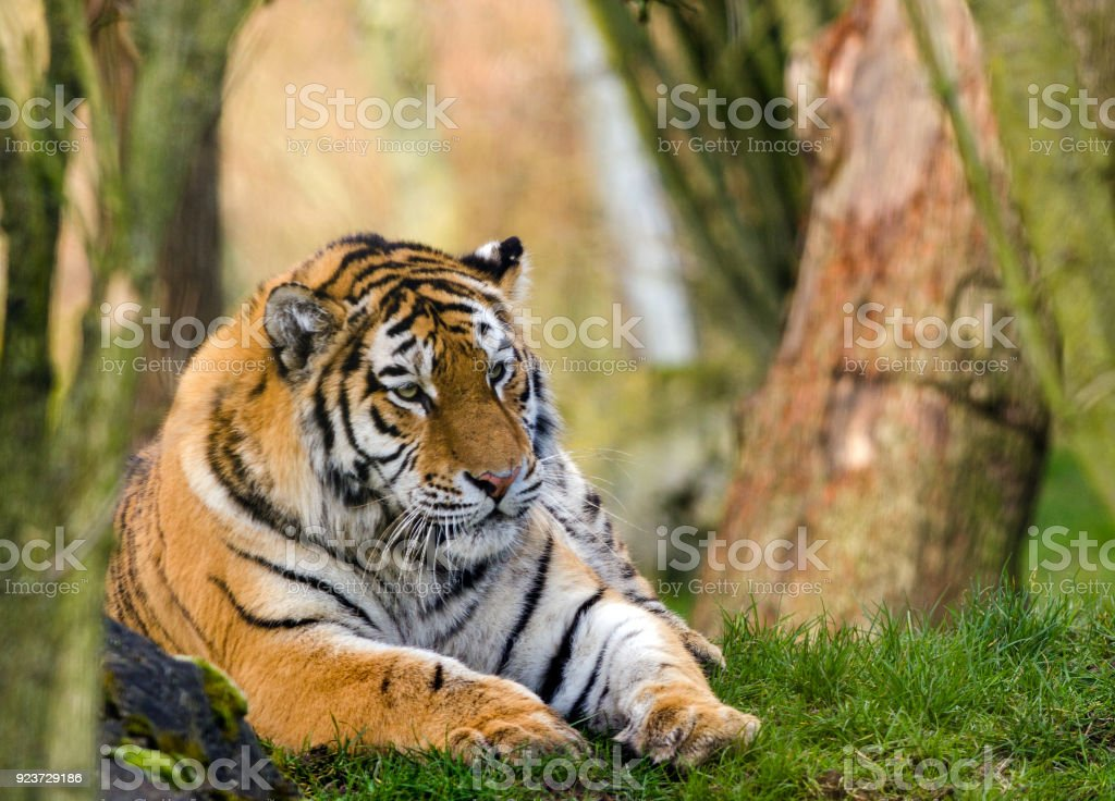 Amur Tiger royalty-free stock photo
