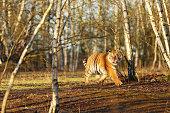 Siberian tiger in wild spring nature. Rusiia. Panthera tigris altaica