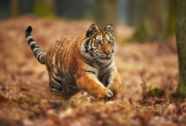Amur tiger running in the forest. Action wildlife scene with danger animal. Siberian tiger, Panthera tigris altaica stock photo
