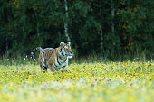 Summer with tiger. Tiger with pink and yellow flowers. Siberian tiger in beautiful habitat - Pathera tigris altaica