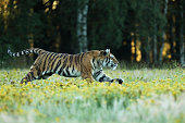 Tiger with yellow flowers. Siberian tiger in beautiful habitat on meadow - Pathera tigris altaica