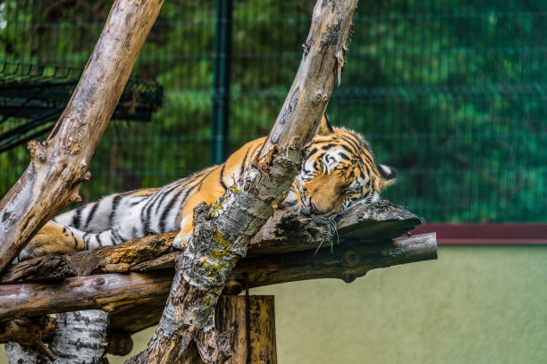 Amur tiger sleeping on wooden branches stock photo